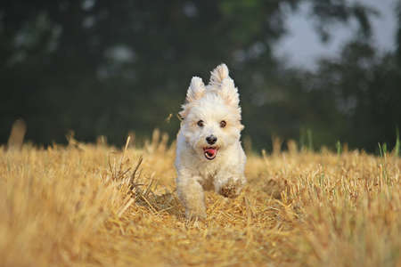 funny small havanese is running on a stubble field