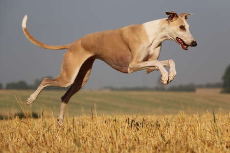 beautiful brown galgo is running on a stubble field