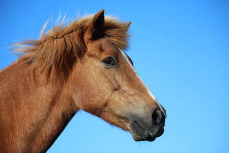 head portrait on a brown icelandic horse with the blue sky in the background Stock Photo