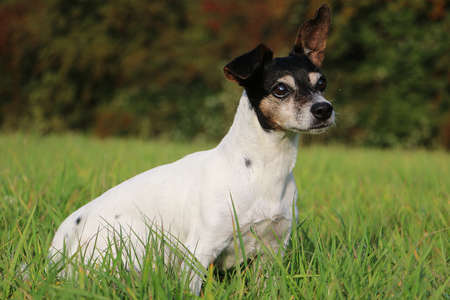 beautiful old jack russell terrier is sitting in the green garden