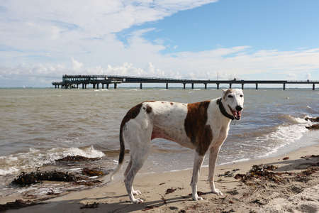 beautiful galgo is standing at the beach in the sand Stock Photo