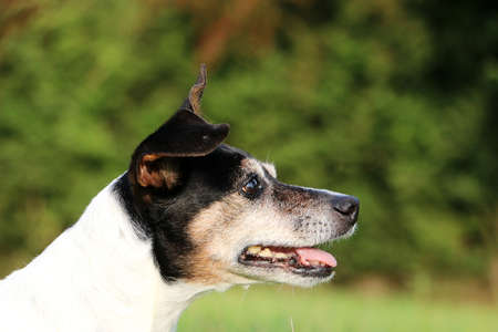 beautiful head portrait from a jack russell terrier in the park