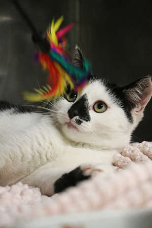 small black and white kitten is lying down and playing with a colorful feather toy Stock Photo