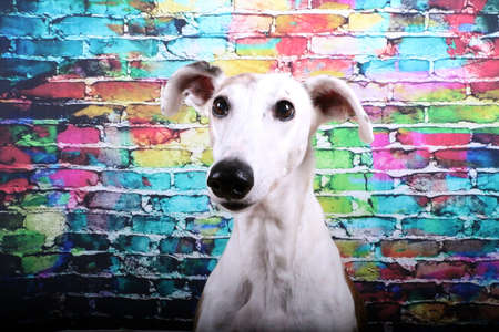 beautiful galgo head portrait in front of a colorful brick wall