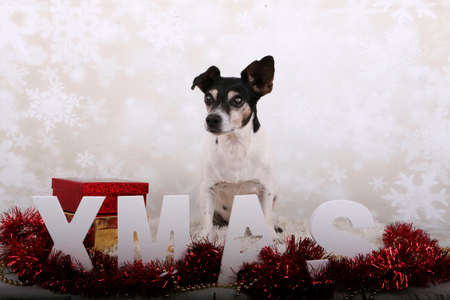 small jack russell terrier is sitting in the studio witch christmas decoration Stock Photo