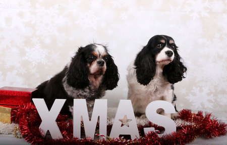 two tricolored cavalier king charles spaniel in the studio with christmas decoration
