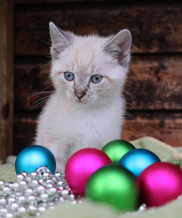 beautiful small white siamese kitten is sitting behind colorful christmas balls Stock Photo