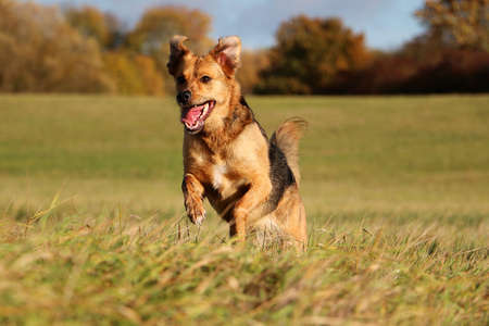 beautiful mixed shepherd dog is running on a field on an autumn day