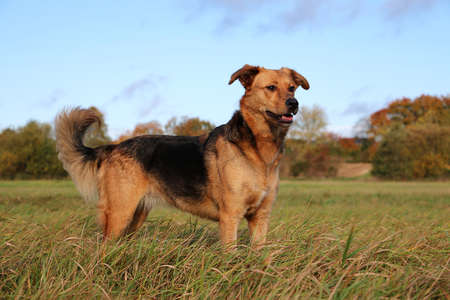 beautiful german shepherd dog is standing on a field Stock Photo