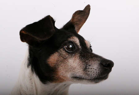 beautiful head portrait from a small jack russel terrier in the white studio