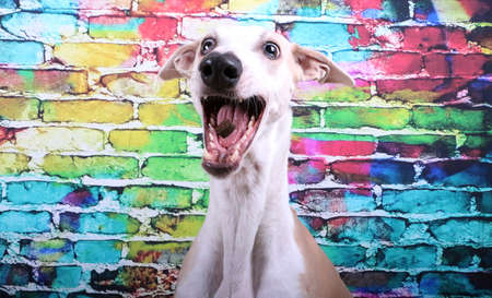 funny sighthound is sitting in front of a colorful brick wall and catching food Stock Photo