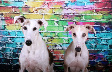two beautiful head portraits from a pair of galgos in front of a colorful brick wall