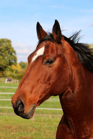 beautiful head portrait from a brown quarter horse on the paddock