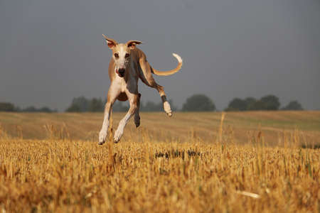 funny brown galgo is jumping over a stubble field