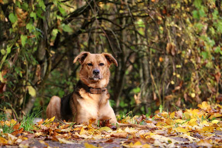 beautiful brown shepherd dog is lying on the ground in the autumn forest