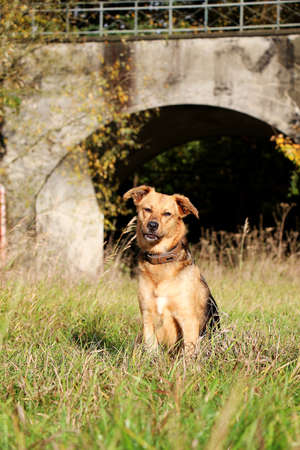 beautiful shepherd dog is sitting on a field in front of a bridge Stock Photo