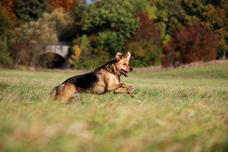 beautiful shepherd dog is running on a field on a beautiful autumn day