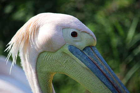 close up head portrait of a beautiful pelican