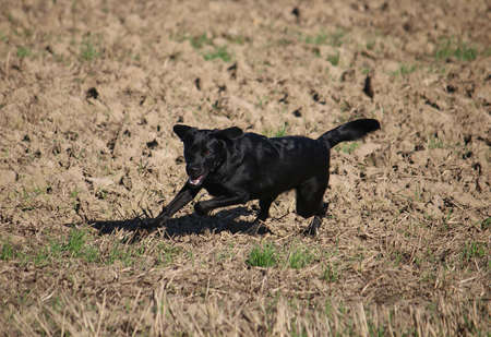 black labrador retriever is running on a sandy field Stock Photo