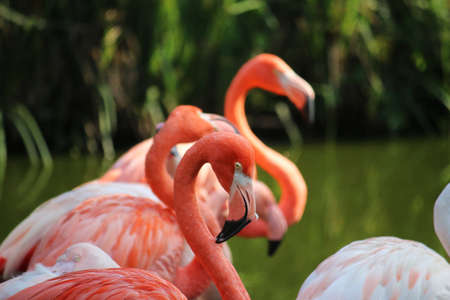 portrait of a group of pink flamingos are standing in the water Stock Photo