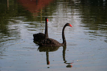 black swan pair swims together on a lake