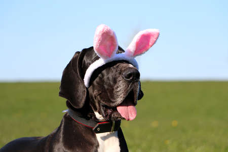 funny black great dane the easter bunny ears fall from the head over the eyes Stock Photo