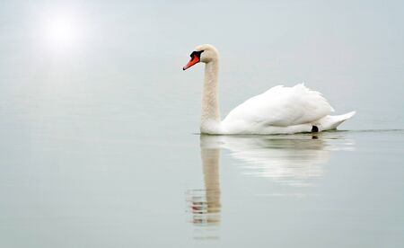 Swan in the foggy morning  photo