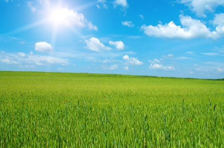 Beautiful wheat-field in sunshine in spring Stock Photo