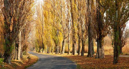poplar: Old road leads across the autumn poplar lined at Lake Balaton (Szigliget,Hungary)  Stock Photo