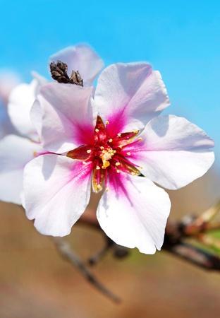 almond tree: Almond flowers in April  Stock Photo