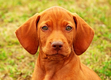 Eight weeks old puppy Hungarian vizsla portrait  photo