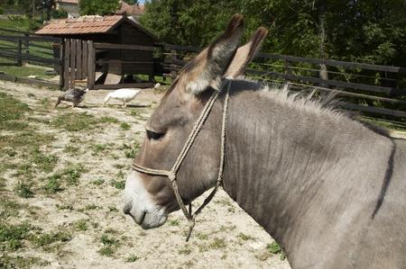 Donkey on a little farm  photo