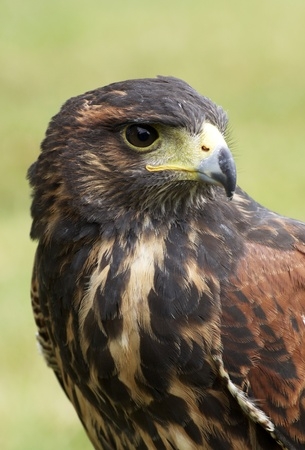 Harris hawk portrait  photo
