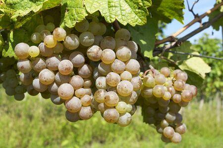 Ripe grape in sunshine