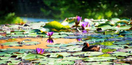 Smew  Mergellus albellus   on a little pond Stock Photo - 13632476