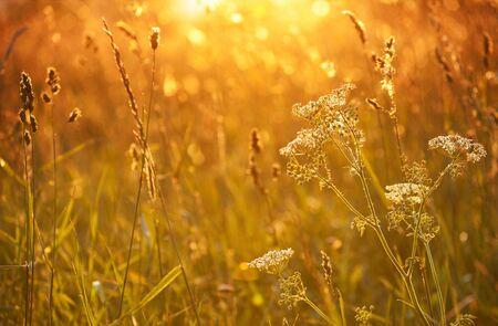 millefolium: Yarrow   Achillea millefolium   in sunset