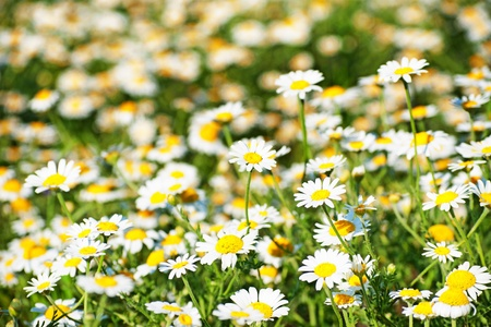Oxeye daisy  Leucanthemum vulgare  photo