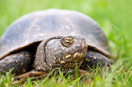 emys: European pond turtle  Emys orbicularis  Stock Photo
