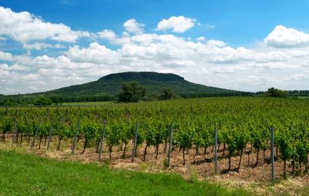 Vineyard at Lake Balaton, Hungary