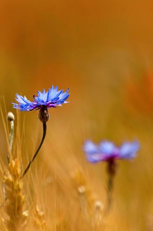 bachelor s button: Blue cornflower in wheat field