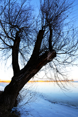 Big tree next to Lake Balaton in winter time ( Balatongyorok ), Hungary
