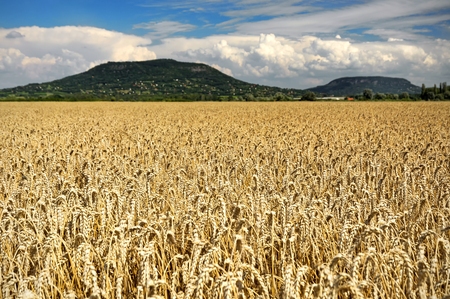 Cereal field in summer time, Hungary Stock Photo
