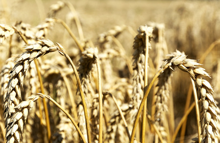 Gold wheat in summer time