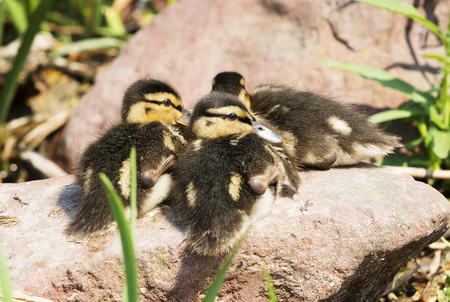 Wild ducks at Lake Balaton, Hungary (nestling)