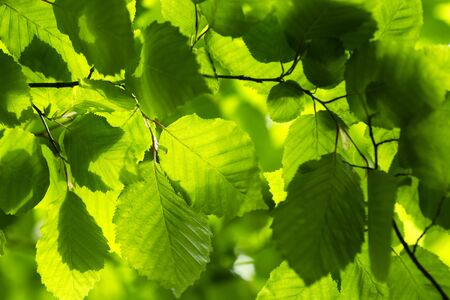New green leaves in springtime