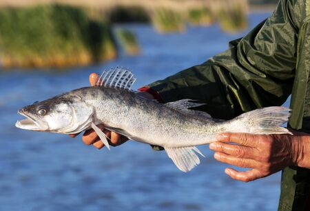 Zander (Sander lucioperca) del lago Balaton, Hungría