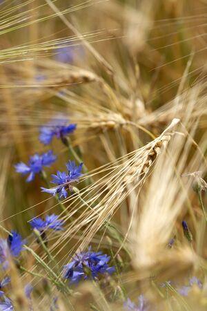 Detail of wheat field with cornflower Stock fotó