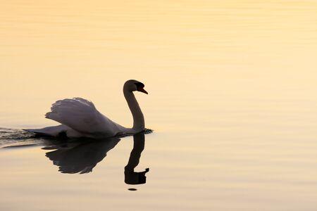Swan at Lake Balaton at sunset time, Hungary