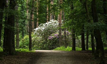 Rhododendron in spring time in forest, Hungary Stock Photo