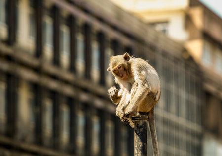 Monkeys at Phra Prang Sam Yot, Lop Buri Province, ThailandIs a tourist destination that has a lot of monkeys living